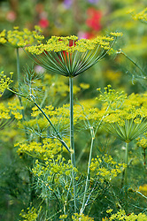 Anethum graveolens. Dill