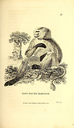 Dog-Faced Baboon from General zoology, or, Systematic natural history Part I, by Shaw, George, 1751-1813; Stephens, James Francis, 1792-1853; Heath, Charles, 1785-1848, engraver; Griffith, Mrs., engraver; Chappelow. Copperplate Printed in London in 1800. Probably the artists never saw a live specimen