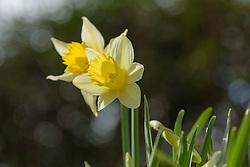 Wilde narcis, Narcissus pseudonarcissus