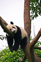 Panda having a nap at the Chengdu Panda Research Station, the biggest facility of this kind in the world.  The giant panda is the most famous endangered animal species. The research station is home to sixty giant panda but also has some red pandas.