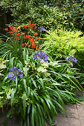 Sequence with Crocosmia 'Orange River' and Aagapanthus 'Navy Blue' syn. A. 'Midnight' in flower