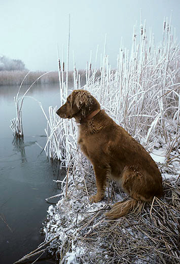 Golden Retriever sitting at edge of Missouri River. South Dakota.