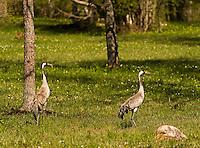 Crane (Grus grus), Matsalu Bay Nature Reserve, Estonia