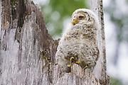 Ural owl (Strix uralensis) owlet sitting on a snag, Latgale, Latvia Ⓒ Davis Ulands | davisulands.com