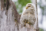 Ural owl (Strix uralensis) owlet sitting on a snag, Latgale, Latvia Ⓒ Davis Ulands   davisulands.com