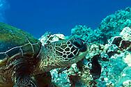 Green Sea Turtle, Chelonia mydas, (Linnaeus, 1758), Lanai Hawaii