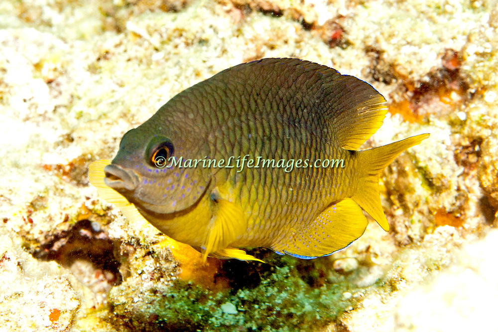 Cocoa Damselfish inhabit reefs, especially fore reefs with living coral, in Tropical West Atlantic; picture taken  Key Largo, FL.