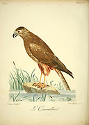 Busard grenouillard or African marsh harrier (Circus ranivorus) is a bird of prey belonging to the harrier genus Circus. It is largely resident in wetland habitats in southern, central and eastern Africa from South Africa north to South Sudan. Bird of Prey from the Book Histoire naturelle des oiseaux d'Afrique [Natural History of birds of Africa] by Le Vaillant, François, 1753-1824; Publish in Paris by Chez J.J. Fuchs, libraire .1799