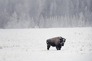 A bison stands in a meadow on a cold, frosty, winter morning in Yellowstone.