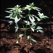 """The national forests in California and across the nation are increasingly being used to grow marijuana. The clandestine grows are shielded by tree canopies and are often close to, if not actually inside, recreational usage areas so that the growers can appear to be normal recreational users. A task force comprised of Sheriff deputies, US Forest Service Agents and Dept. of Justice agents raided a grow in the Tahoe National Forest that yielded 5000 plants in the 2""""-12"""" range and arrested one Mexican national who was tending the grow."""