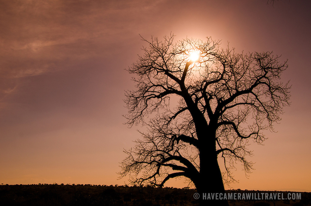 At sunset, a denuded baobab tree in the dry season is silhouetted against the sun at Tarangire National Park in northern Tanzania not far from Ngorongoro Crater and the Serengeti.