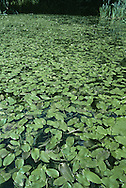 BROAD-LEAVED PONDWEED Potamogeton natans (Potamogetonaceae) Aquatic. Freshwater perennial of still or slow-flowing water. FLOWERS are small, 4-parted and greenish; in 8cm-long spikes, on stalks rising above the water (May-Sep). FRUITS are round and short-beaked. FLOATING LEAVES are oval, up to 12cm long; stalk has flexible joint near blade. SUBMERGED LEAVES are long and narrow. STATUS-Widespread and common.