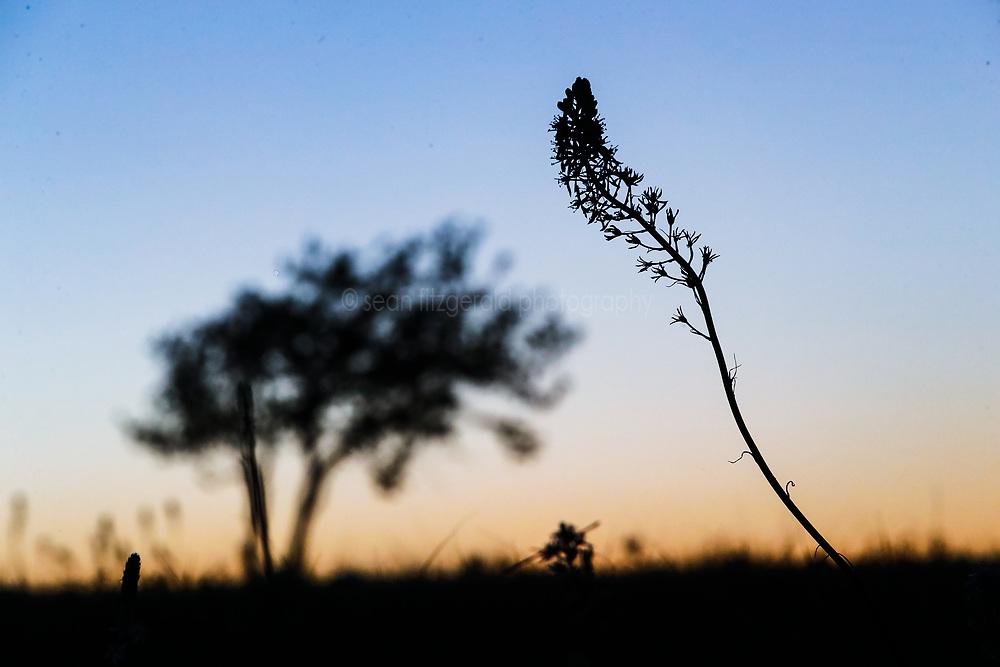 Blue wild hyacinth (Camassia scilloides) on prairie at dusk, Stella Rowan Prairie, Fort Worth, Texas USA.