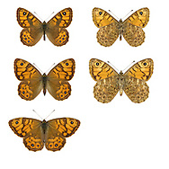 Wall Brown - Lasiommata megera - male (top row) - female (middle row) - female in natural pose (bottom row). Wingspan 45mm. A well-marked, sun-loving butterfly. Adult has orange-brown upperwings; patterns and colour recall a fritillary butterfly but note the small eyespots on the wings. Double-brooded: flies April–May and July–September. Larva feeds on grasses and is strictly nocturnal. Widespread in England and Wales but declining and now rather scarce; easiest to see on grassy heaths and on coasts.