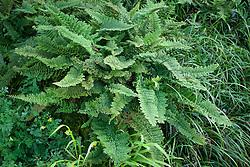 Polystichum Setiferum 'Plumosum Densum'. Mossy Soft Shield Fern