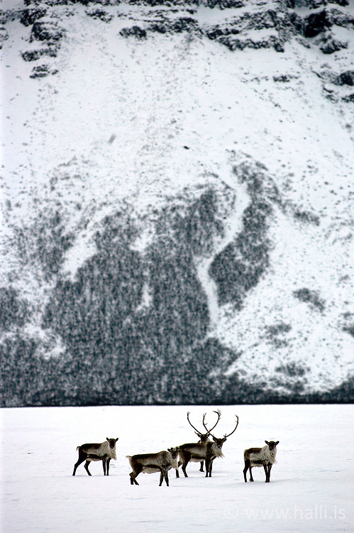 Hreindýr við Steinavötn á Suð-Austurlandi - Reindeers at Steinavotn, south-east of Iceland