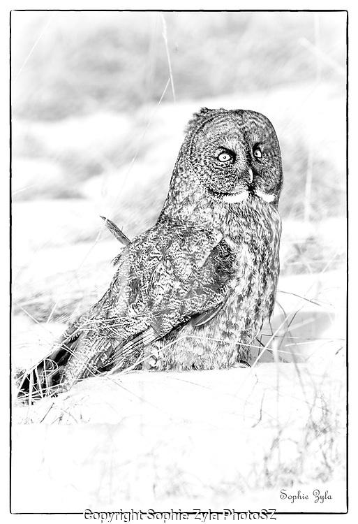Great Gray Owl in B & W