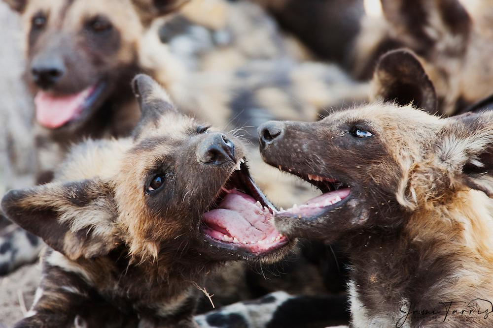 Wild dog pups (Lycaon pictus) playfully biting their pack mates, Khwai River, Moremi Game Reserve,Botswana,Africa