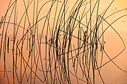 Reeds on Saskatoon Lake at sunrise <br />Saskatoon Island Provincial Park<br />Saskatchewan<br />Canada