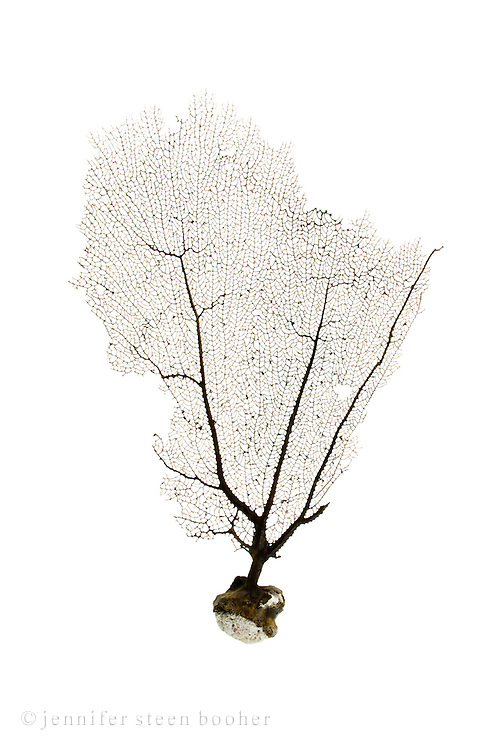 A sea fan or fan coral from the island of Salt Cay, Turks and Caicos.