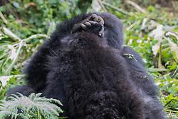 Mountian Gorillas Holding Hands
