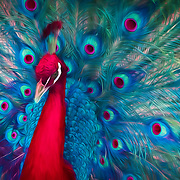 India blue peacock displaying special occasion feathers in holiday colors. Painted effects blended with original photograph.