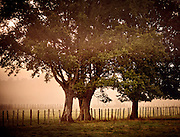 Large trees line a fence on a foggy farm if France's countryside