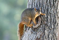 Portrait of squirrel on tree on the Trinity Trails near the Trinity River, Fort Worth, Texas, USA.