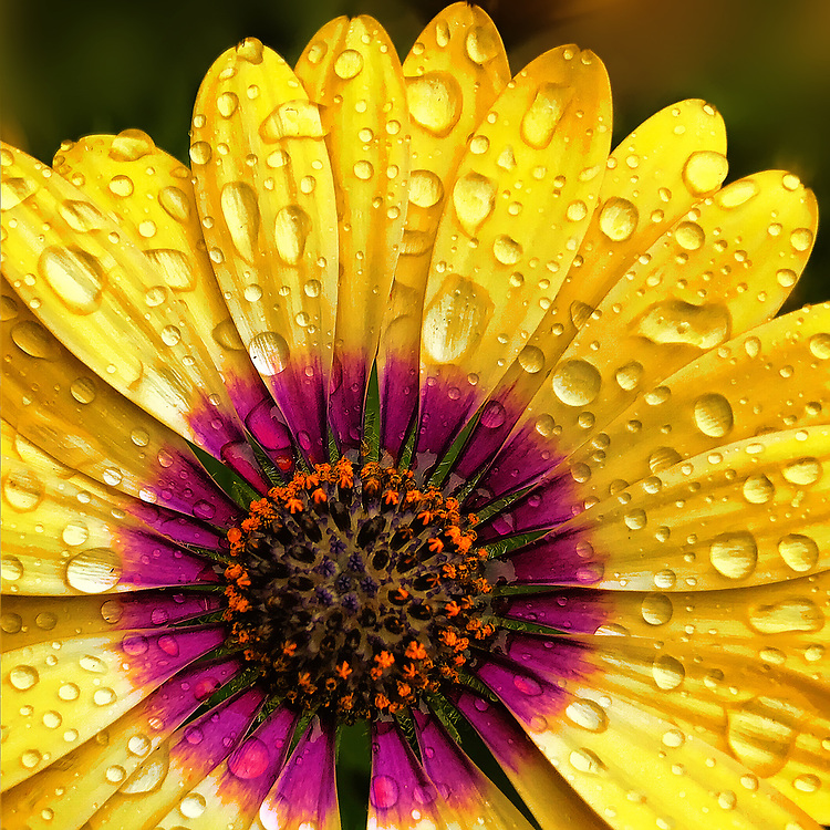 A Macro Closeup Of A Yellow Daisy After A Storm with Rain Droplets.