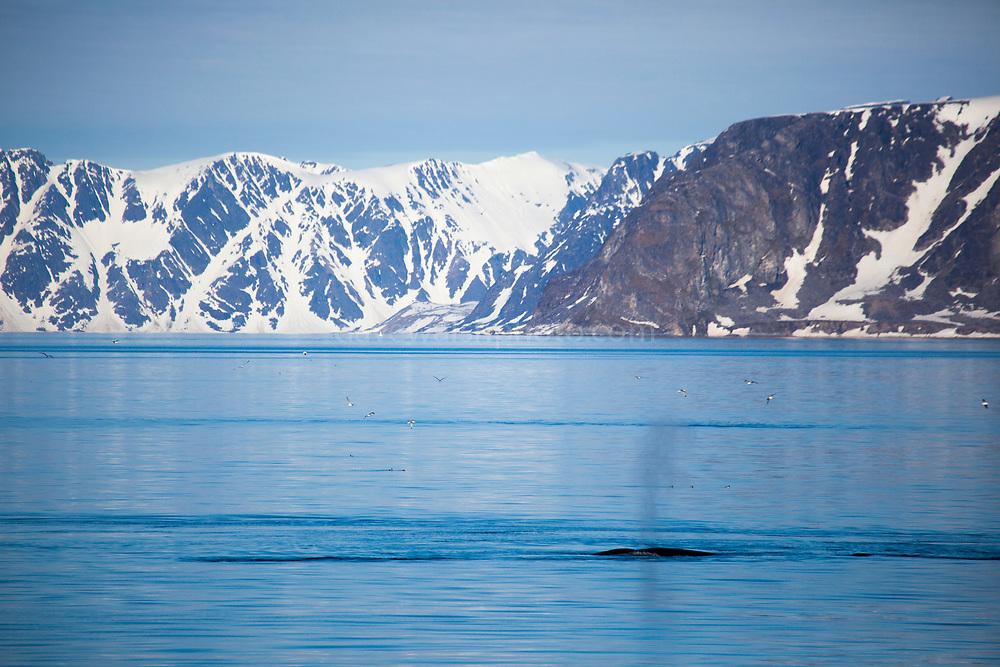 Minke whale feeding off the coast of Svalbard.