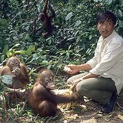 Orangutan, (Pongo pygmaeus) Ranger feeding juveniles in Sepilok Forest Rehabilitation Center.  Malaysia. Controlled Conditons.
