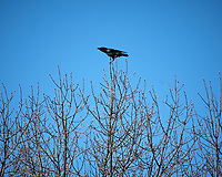 American Crow. Image taken with a Nikon D2xs camera and 80-400 mm VR lens (ISO 100, 400 mm, f/7.1, 1/500 sec).