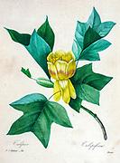 19th-century hand painted Engraving illustration of a flower of Liriodendron tulipifera (tulip tree), by Pierre-Joseph Redoute. Published in Choix Des Plus Belles Fleurs, Paris (1827). by Redouté, Pierre Joseph, 1759-1840.; Chapuis, Jean Baptiste.; Ernest Panckoucke.; Langois, Dr.; Bessin, R.; Victor, fl. ca. 1820-1850.