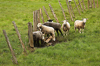 Grazing sheep in a Vermont pasture, Ryegate.