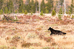 Black wolf on the hunt at Swan Flats in Yellowstone National Park<br /> <br /> 24 megabyte file, max print size 16X24 inches.<br /> <br /> Read about it. <br /> http://www.the-hole-picture.com/articles/Wolf-Chase.html