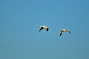 Snow geese (Anser caerulescens) in flight<br />