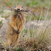 Arctic Ground Squirrel collecting grasses to line an underground nest.