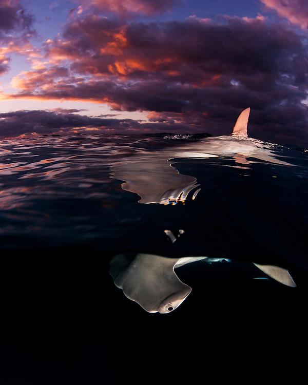A great hammerhead shark (Sphyrna mokarran) with dorsal fin piercing the surface during sunset in The Bahamas.