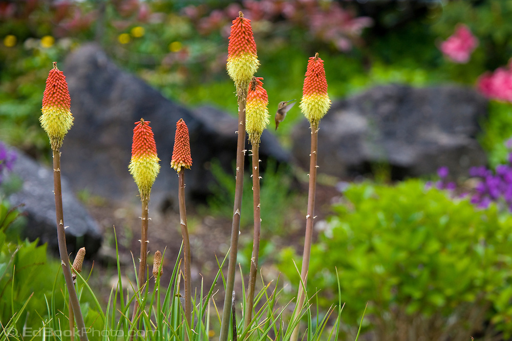 Red Hot Poker (Kniphofia uvaria) Torch Lily in bloom