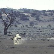 Ostrich, (Struthio camelus) Female taking dust bath in Kalahari Desert. Africa.
