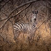 20211007 Kasane Botswana <br /> Chobe Nationalpark <br /> Zebra<br /> ----<br /> FOTO : JOACHIM NYWALL KOD 0708840825_1<br /> COPYRIGHT JOACHIM NYWALL<br /> <br /> ***BETALBILD***<br /> Redovisas till <br /> NYWALL MEDIA AB<br /> Strandgatan 30<br /> 461 31 Trollhättan<br /> Prislista enl BLF , om inget annat avtalas.
