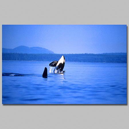 Orcinus orca.