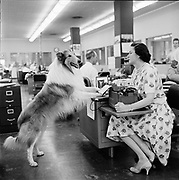 Y-580702B-05. The real Lassie visits Oregonian reporter Phyllis Lauritz. Over the twenty years that the television episodes were filmeed, six different dogs were cast for the Lassie role. This is Lassie Junior, who did all the episodes filmed from 1954 to to 1959, except the first two pilots which were done by his father, Pal. July 2, 1958.