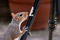 A Grey Squirrel (Scientific name Sciurus Carolinensison) tentatively investigates camera tripod during a brief visit to a small Sheffield suburban garden.<br /> <br /> 25th September 2021<br /> <br /> www.pauldaviddrabble.co.uk<br /> All Images Copyright Paul David Drabble -<br /> All rights Reserved -<br /> Moral Rights Asserted -