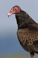 Turkey Vulture - Cathartes aura