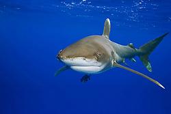Oceanic Whitetip Shark, Carcharhinus longimanus, off Kona, Big Island, Hawaii, Pacific Ocean