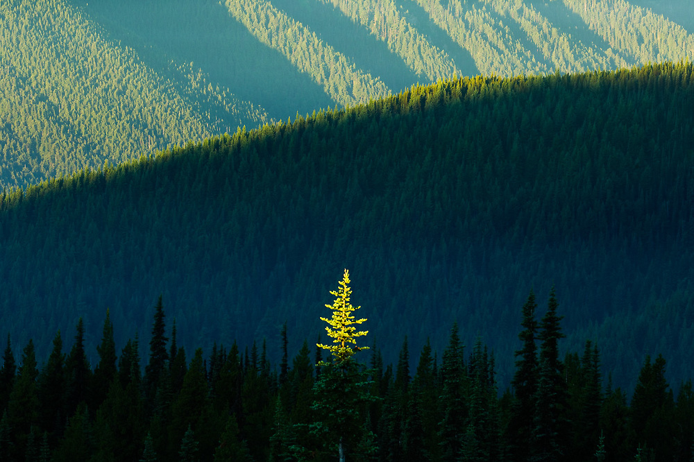 Fir tree crown illuminated in morning light, July, view from Blue Mountain,  Olympic National Park, Washington, USA