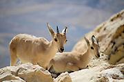 Israel, Negev, Juvenile Nubian Ibex (Capra ibex nubiana AKA Capra nubiana)