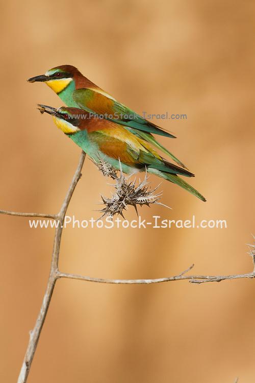 European Bee-eater (Merops apiaster) standing on a thornbush, sea of galilee, israel