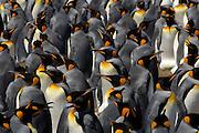 Der Königspinguin (Aptenodytes patagonicus) findet sich zur Brutzeit in großen Kolonien zusammen. | The king penguin (Aptenodytes patagonicus) is highly gregarious at the breeding colonies.